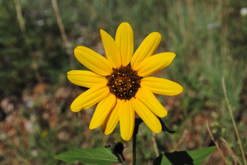 A Bur-Marigold, maybe. Or a swamp sunflower.